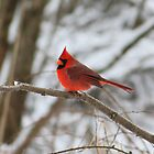Cardinal by Alyce Taylor