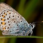 Silver Studded Blue by davediver