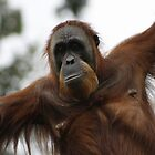 Sumatran Orangutan by Michelle Cocking