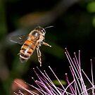 Bee in flight by Peter Wickham