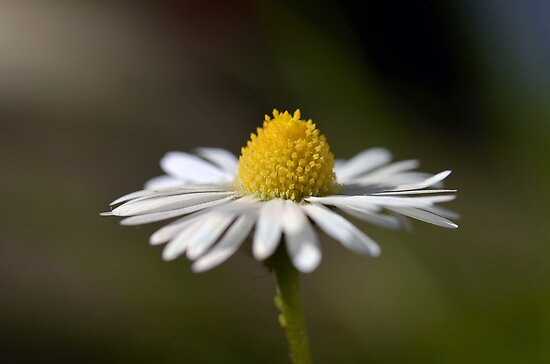 Daisy by gmws