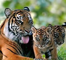 Tiger family by Mundy Hackett