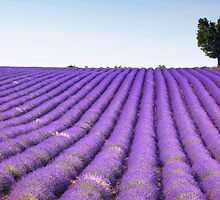 Lavender Field by inspiredesign