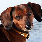 THE DACHSHUND - A FAMILY DOG by Heidi Mooney-Hill