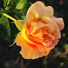 Rose in Sunshine by orko