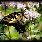 Butterfly Flutters in Summer by dawnderby