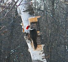 Wood Pecker by Kevin Chenier