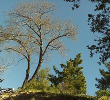 Tree In The San Bernardino Mountains. by Bearie23