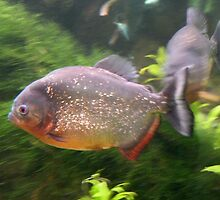 Swimming piranha in aquarium by Martha Sherman