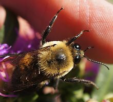 One of my Bumble bees by Betsy  Seeton