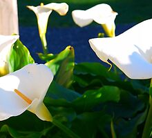 Lily of the Garden, Tasmania by Rosdenphoto