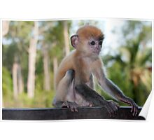 Baby Silver Leaf Monkey Poster