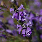 Sturt's Desert Fuchsia by Lisa Evans