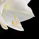 Amaryllis  by Peter Wickham