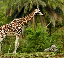 Giraffe by Charuhas  Images