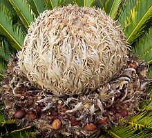 Close-up capture of Cycas revoluta  by John Gaffen
