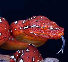 Cheeky Red baby GTP by AngiNelson