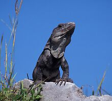 Black Spiny-tailed Iguana, Black Iguana (Ctenosaura Similis), Mexico, Yucatan by Michal Cerny