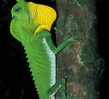 Hump-Nosed Lizard, Lyriocephalus scutatus, Sri Lanka  by Michal Cerny
