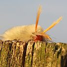 fuzzy caterpillar on fence post by SusieG