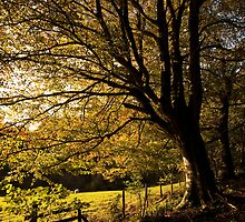 Evening Beech by Anne Gilbert