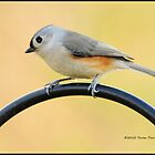 Titmouse by Thom  Perry