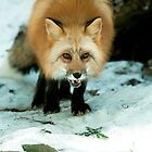 Red Fox in winter by Junec