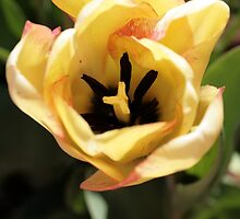 Yellow and Pink Tulip by Leigh Penfold