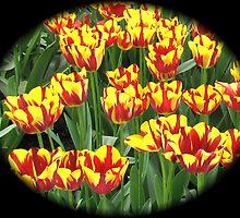 Flamboyant Two-Tone Tulips - Keukenhof Gardens by MidnightMelody