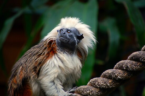 cotton top tamarin by natalie angus