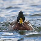 """Water off a Duck's Back"" - Mallard Drake, Ottawa, Ontario by Stephen Stephen"