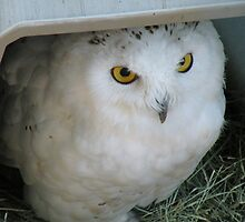 Snowy Owl in Shelter by Martha Sherman