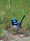 Superb Fairy Wren. by Donovan wilson