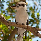 Laughing Kookaburra, Taken at Bradleys Head by Allan Saben