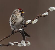 Redpoll on Willow by Bill McMullen