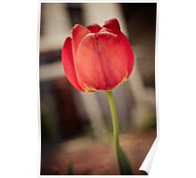 Faded Tulip Poster