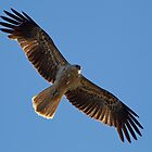 Black Kite by Bill  Robinson