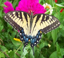 Tiger Swallowtail Butterfly macro by Cassandra Scarborough