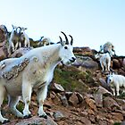 Mountain Goats by Rick Louie
