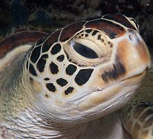 Green Turtle, Sipadan, Sabah, Malaysia by Allan Saben