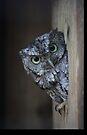Eastern Screech Owl by D R Moore