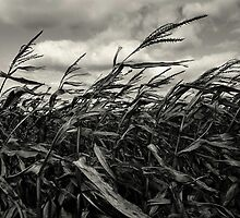 Harvest Winds by Kimcalvert