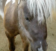Miniature brown horse closeup by Martha Sherman