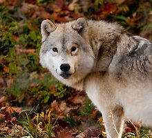 Arctic Wolf - Eye Contact by Benjamin Brauer