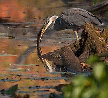 Blue Heron - Fishing by Benjamin Brauer