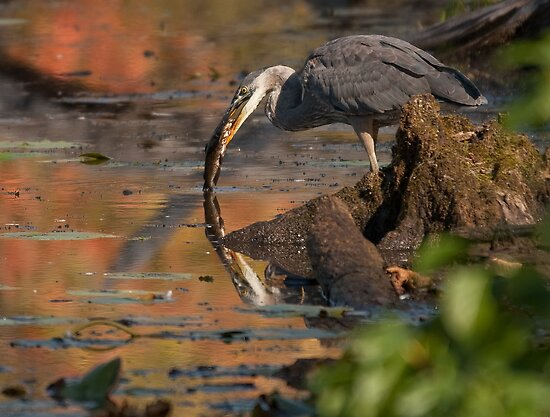 Blue Heron - Fishing by Benjamin Brauer