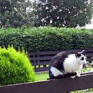 Cat on Fence by BlueMoonRose