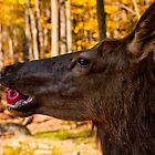 Mule Deer - Apple Eating by Benjamin Brauer