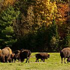 Buffalo Herd - Autumn by Benjamin Brauer