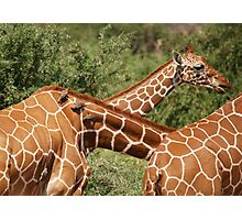 reticulated giraffes and oxpeckers Photographic Print